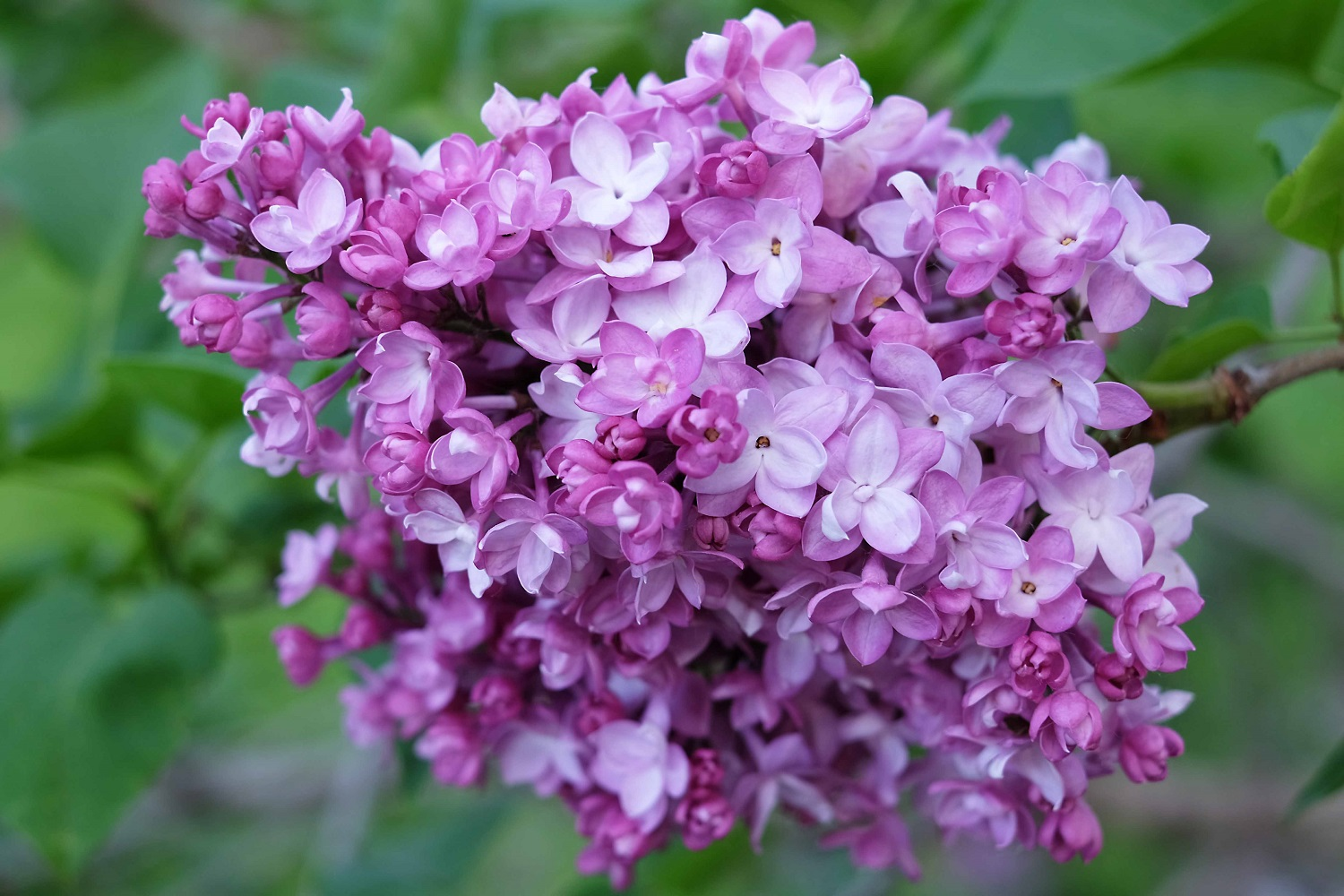 Viscountess Willingdon lilac at Central Experimental Farm
