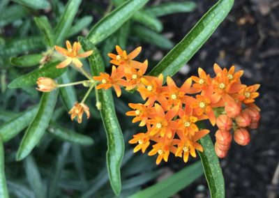 2nd: B. 6. 1 Butterfly Weed (Asclepias tuberosa)