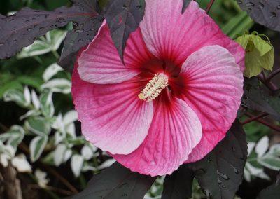 1st: B. 5. 6 Hibiscus