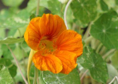 B. 5. 1 Nasturtium 'Alaska'