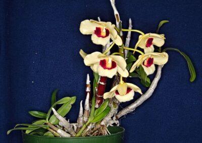 A.2.2. Dendrobium 'Gatton Sunray'