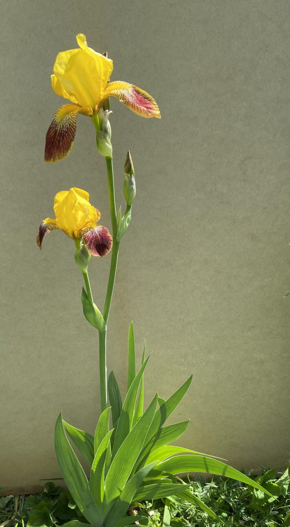 B.10.3 Yellow iris