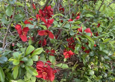 B.12.4 Flowering Quince: Chaenomeles speciosa