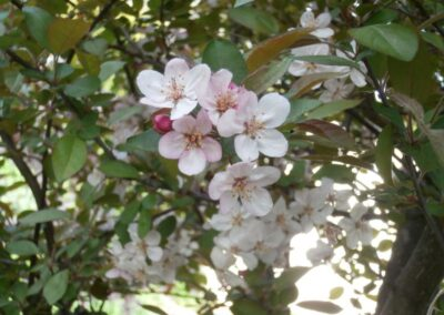 B.12.5 Malus sargentii 'Candy Mint'