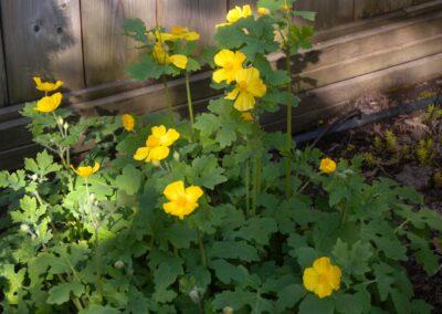 B.13.2 Wood-Poppy
