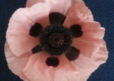 B.7b.4 Oriental Poppy 'Queen Alexandra'