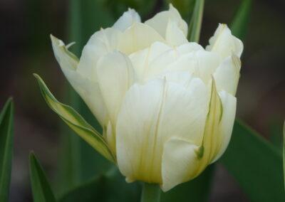 B.8.2 Tulip 'Mondial'