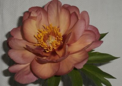 B.8.4 Itoh Peony 'Magical Mystery Tour'