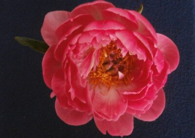 B.8.5 Herbaceous Peony 'Coral Charm'